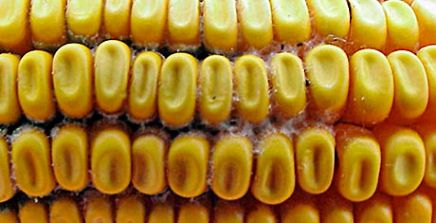 EU research project MYCOSPEC for mycotoxins detection