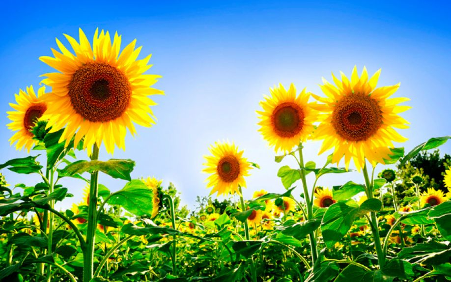 Commission Regulation EU 2016/1978 approving the basic substance sunflower oil as a plant protection product