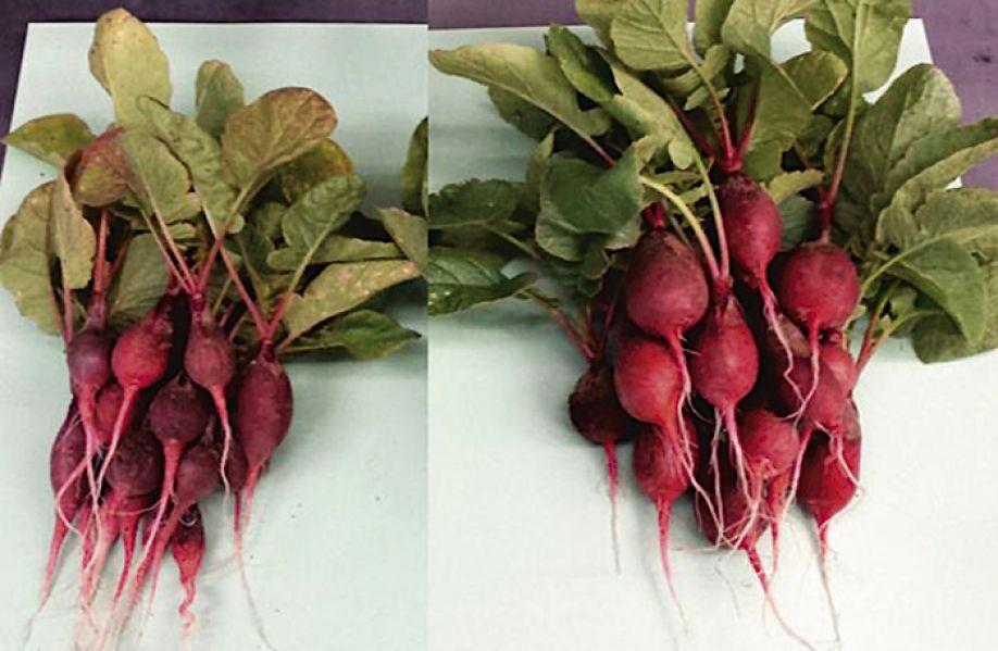 The radishes on the right were grown with the help of a bionic leaf that produces fertilizer with bacteria, sunlight, water and air.