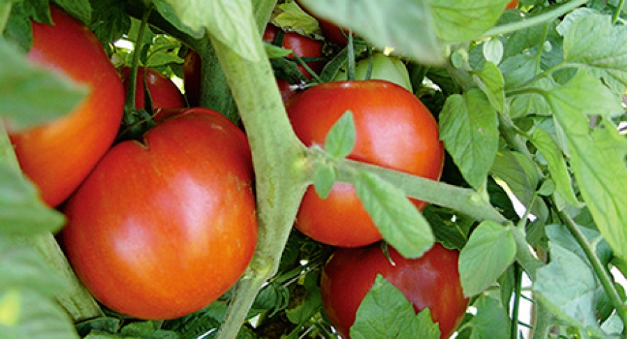 Recipe for flavourful tomatoes: heat before chilling