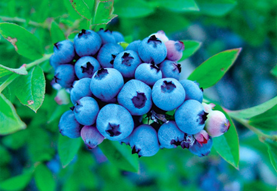 Wild blueberry polyphenols may offer oral health benefits